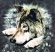 graywoulf